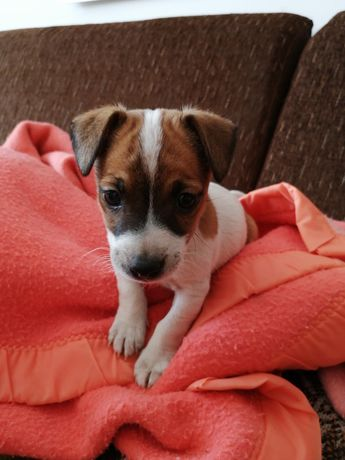 Jack Russell Terrier - suczka