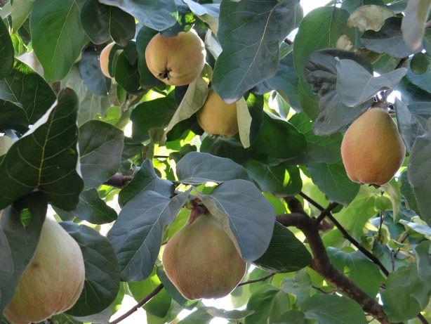 Pigwa gruszkowa owoc