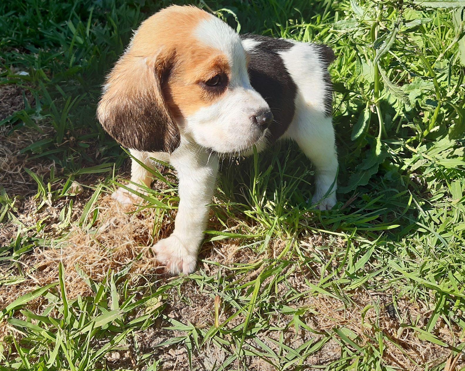 Fantástico Macho Beagle