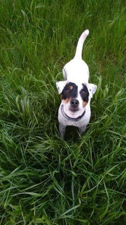 Malisza - suczka Parson Russel Terrier