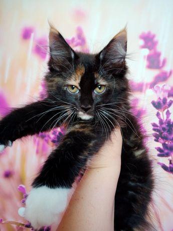 Koteczka Maine Coon,linia dużych kotów