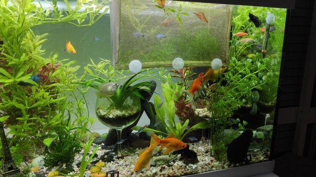 Pack aquário (peixes+planta+caracóis)