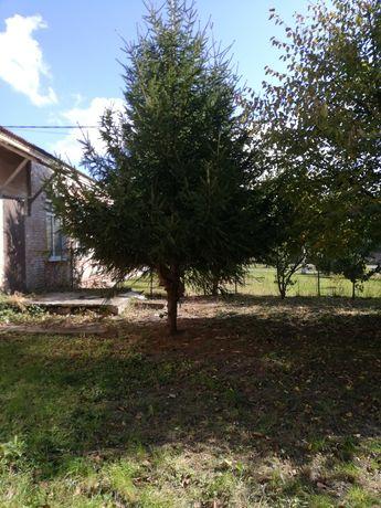 Живая елка, примерно 6 метров