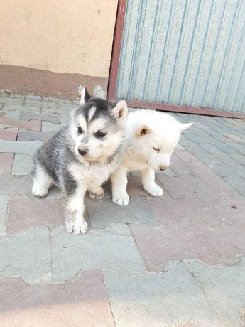 Sprzedam cudowne szczeniaki Syberian Husky
