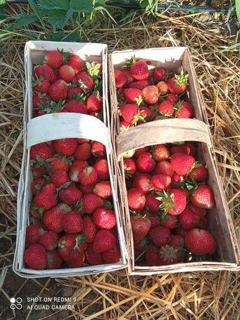 Świeże truskawki prosto z pola