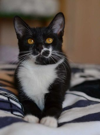 харизматичне кошенятко чорно-білий парубок 5м