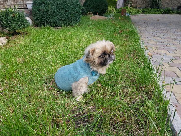 Найден Пекинес щенок / взрослая собака