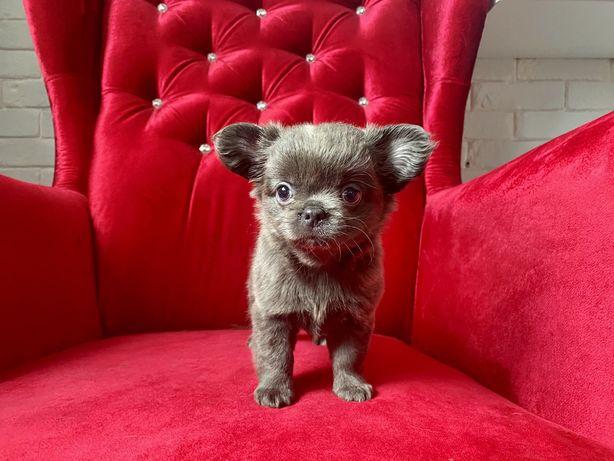 Chihuahua niebieska suczka