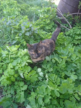 Кішка черепашкового окрасу