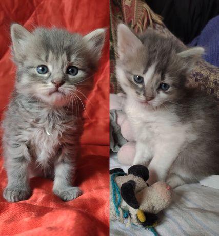 Котята, пушистые котята, сибирские котята, котики, кошечки, котёнок