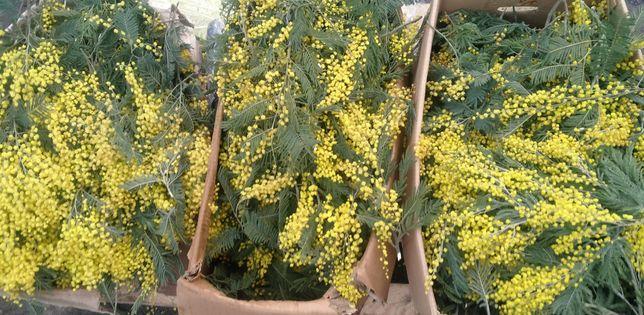 Мимоза с Грузии Опт, цветы на 8 марта женщинам подарок