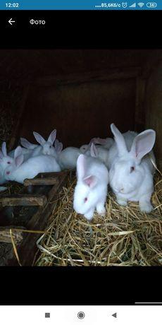Термонська біла, кітні кролиці