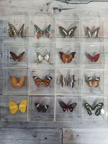 Motyle w gablocie z pleksi