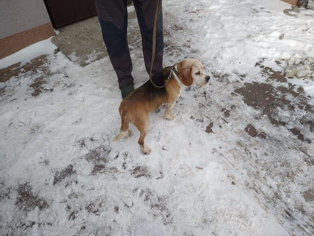 Sprzedam psa rasy Beagle
