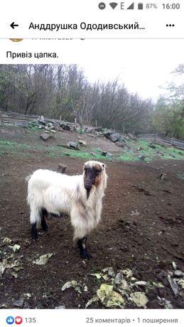 Продам кози , вівці  ягнята козинята