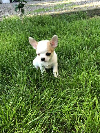 Chihuahua krótkowłose FCI