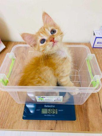 Рыжий котенок девочка 2 месяца