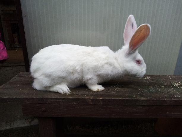 Sprzedam króliki, Termondzkie Białe