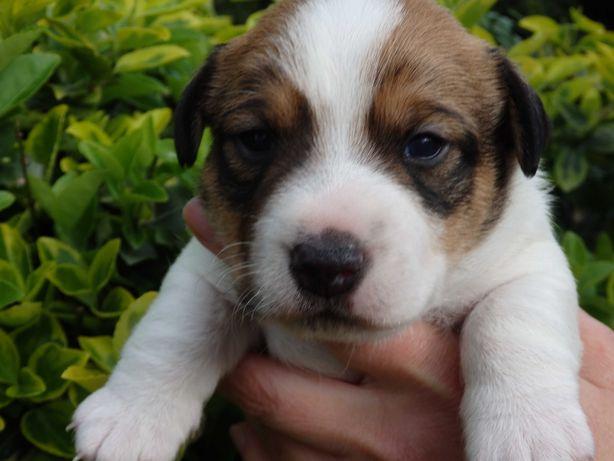 Jack Russell Terrier piesek PULPET od SMARTIE JACKS odbiór czerwiec
