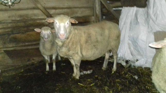 Owca Merynos z młodymi