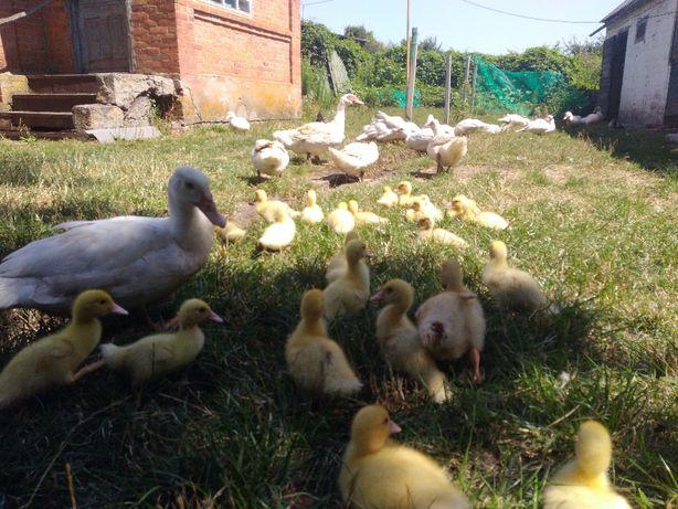 Утята белой мускусной утки - шипуна - индоутки + мама - утка