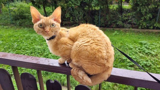 Zaginęła ruda kotka Rita