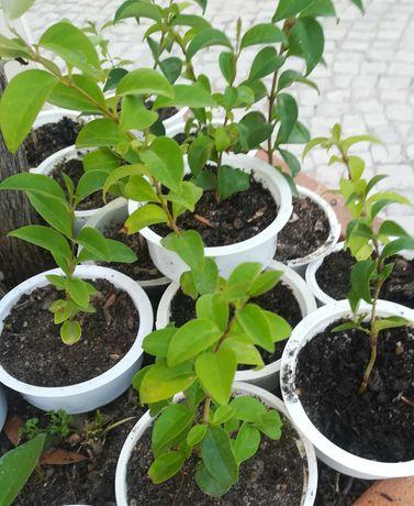 20 arbustos vedação ligustrum Japonicum (ligustro).