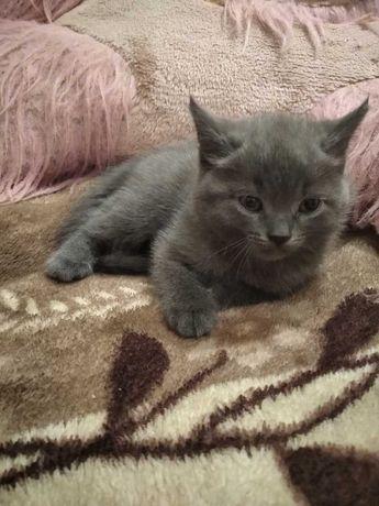 Шотландские котята!!!