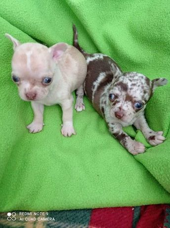 Chihuahuas Exóticos TOP