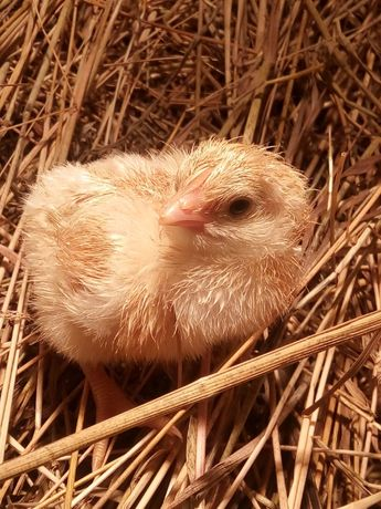 Jaja lęgowe kur de Bresse