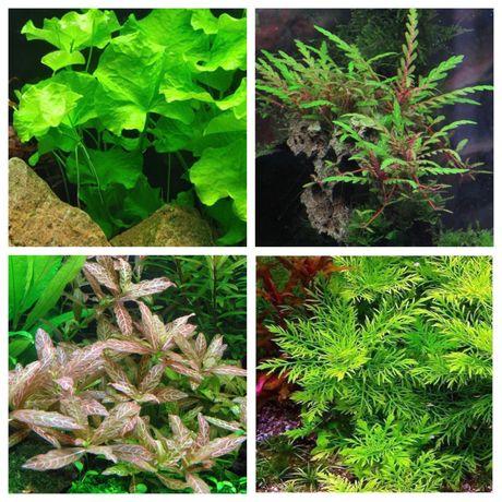 Pack low cost - plantas de aquário