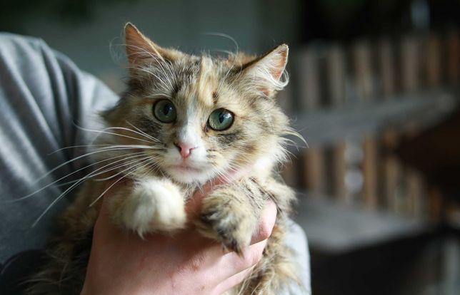 кошка 1 год стерилизована мега красивая