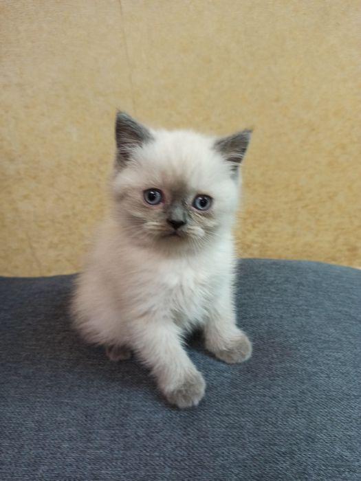 Шотландские котята скоттиш страйт, блю поинт Запорожье - изображение 1