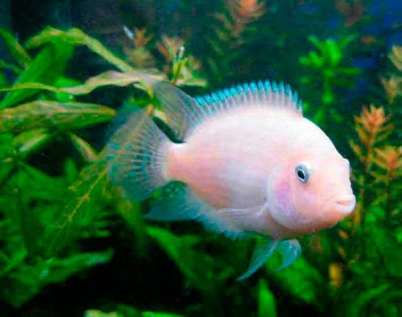 Отдам бесплатно аквариумную рыбу