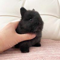 KIT completo coelhos anões angorá, holandês mini e minitoy