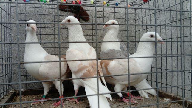Gołębie Śląskie Tarczowe Izabela kawowe lodowe płowe WYSYŁKA