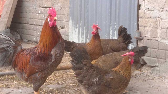 Jaja jajka lęgowe Włoszek łuskowanych, lawendowych, kaczki