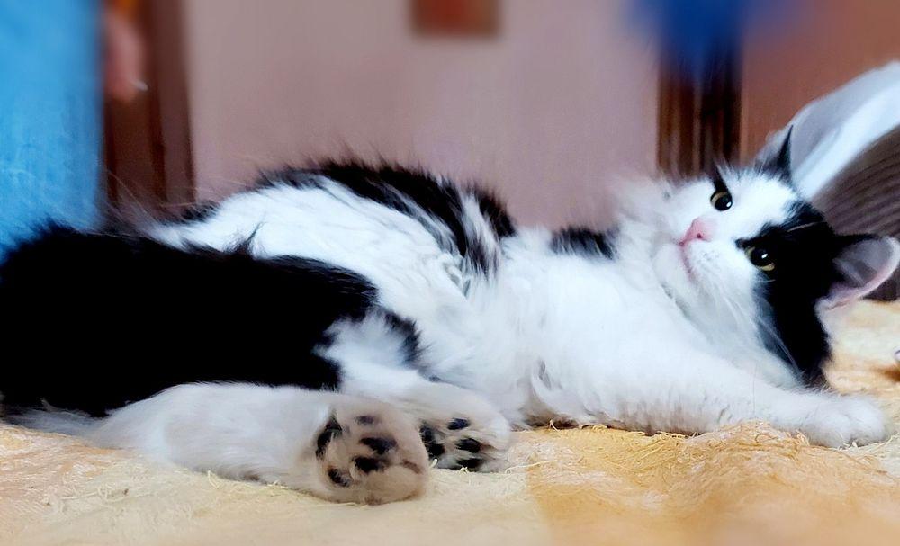 Ищет тёплый дом изумительно красивая кошечка. Сумы - изображение 1