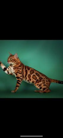 Бенгальские мини тигрята котята ждут маму