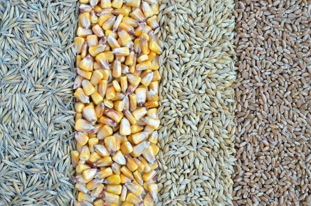 Sprzedam zboże,  pszenice, pszenżyto i żyto  . Okazja!