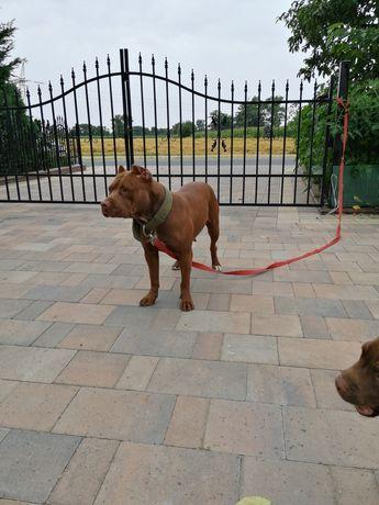 Suka American Pit Bull terrier