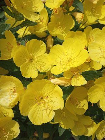 Энотера низкорослая, желтая