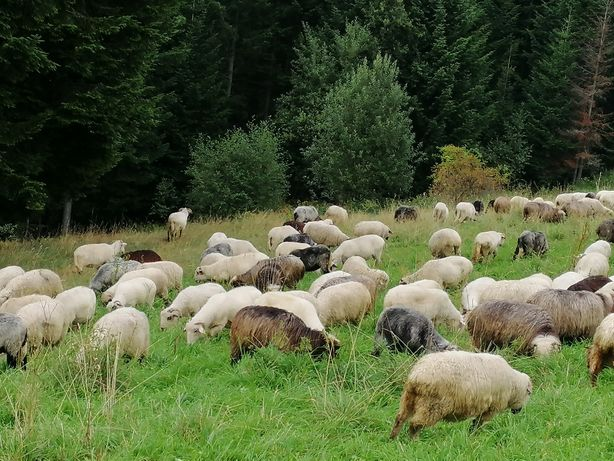 Sprzedam jagnięta i owce ( mięso ) .