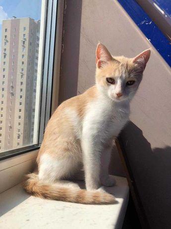 Котенок -мальчик ( персиковый окрас)