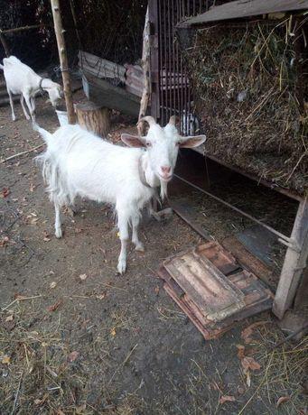 Продаются разные кози