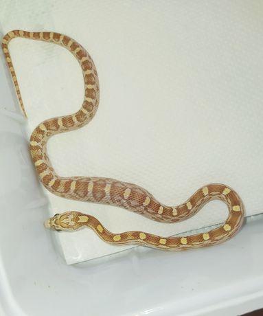 Wąż zbożowy golddust motley