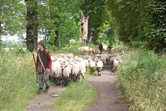 owce czysto rasowe valaska wołoskie