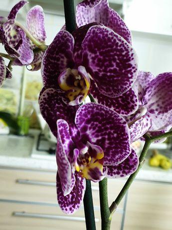 Орхидея фаленопсис Дикий Кот цветущий 1 ветка