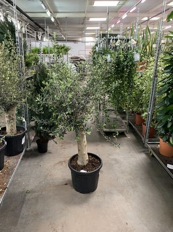 Оливка 1.5-1.6 м. ( Олива )
