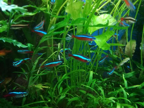 Rybka akwariowa neon czerwony